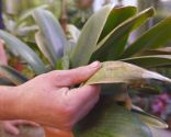 Cómo recuperar las plantas tras una helada - Clivia