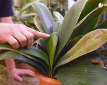 Cómo recuperar las plantas tras una helada - Clivia nuevas hojas