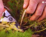 Cómo recuperar las plantas tras una helada - Esparraguera cortar tallo helado