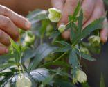 Variedades de rosa de invierno o heléboro - Variedad helleborus viridis