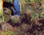 Poda de las plantas vivaces a finales de invierno e incorporación de mantillo - Mantillo