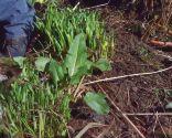 Poda de las plantas vivaces a finales de invierno e incorporación de mantillo - Eliminar acedera