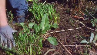 Poda de las plantas vivaces a finales de invierno e incorporación de mantillo