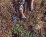 Poda de las plantas vivaces a finales de invierno e incorporación de mantillo - Poda gaura