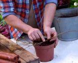 El acodo, técnica de reproducción para azaleas y magnolios - Acodo de azalea