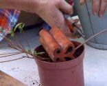 El acodo, técnica de reproducción para azaleas y magnolios - Acodo de azalea corte de rama