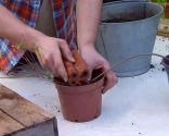 El acodo, técnica de reproducción para azaleas y magnolios - Acodo de azalea con peso