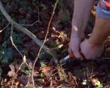 El acodo, técnica de reproducción para azaleas y magnolios - Acodo de magnolia soulangeana susan cortar tallo madre