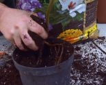 El acodo, técnica de reproducción para azaleas y magnolios - Acodo de magnolia soulangeana susan plantación