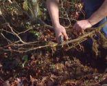 El acodo, técnica de reproducción para azaleas y magnolios - Acodo de magnolia soulangeana susan cortar planteles