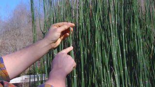 Poda de la cola de caballo o Equisetum hyemale