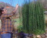 Poda de la cola de caballo o Equisetum hyemale - Reproducción mediante esporas