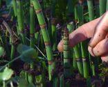 Poda de la cola de caballo o Equisetum hyemale - Nuevos brotes