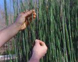 Poda de la cola de caballo o Equisetum hyemale - Ramificaciones brotes de hace dos años