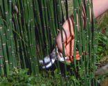 Poda de la cola de caballo o Equisetum hyemale - Poda con tijeras