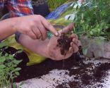 Reproducción mediante esquejes de la Euphorbia Diamond Frost - Raíces