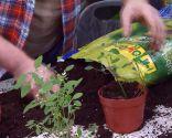 Reproducción mediante esquejes de la Euphorbia Diamond Frost - Trasplante