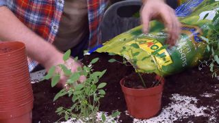 Reproducción de la Euphorbia Diamond Frost mediante esquejes