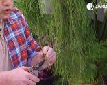 Esquejes de hortensias y rosales - Corte base del esqueje