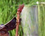 Esquejes de hortensias y rosales - Corte floración de la hortensia