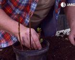Esquejes de hortensias y rosales - Plantación