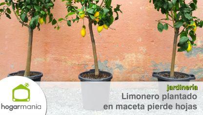 Caviar c trico una variedad de limonero bricoman a - Limonero en maceta ...
