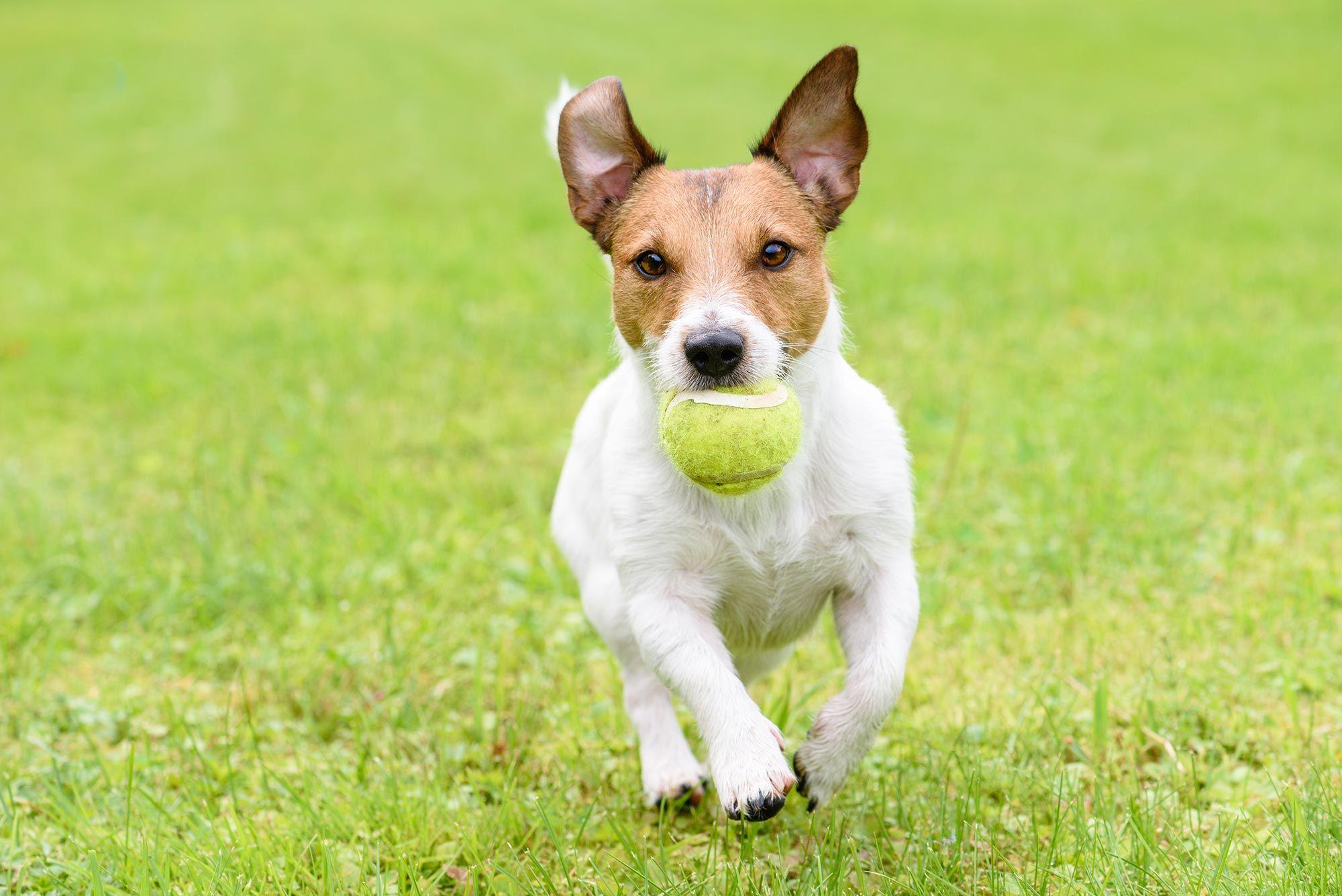 perros juego pelota