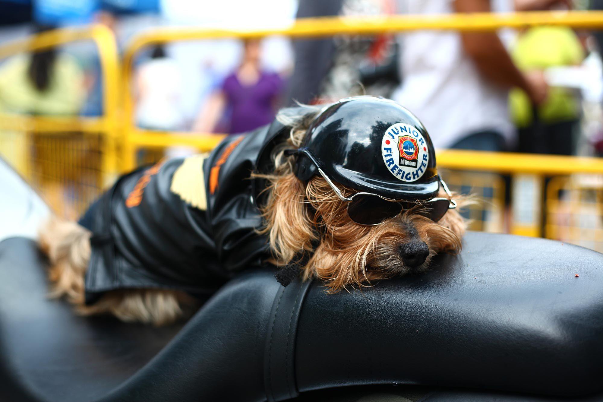 mascotas perro casco