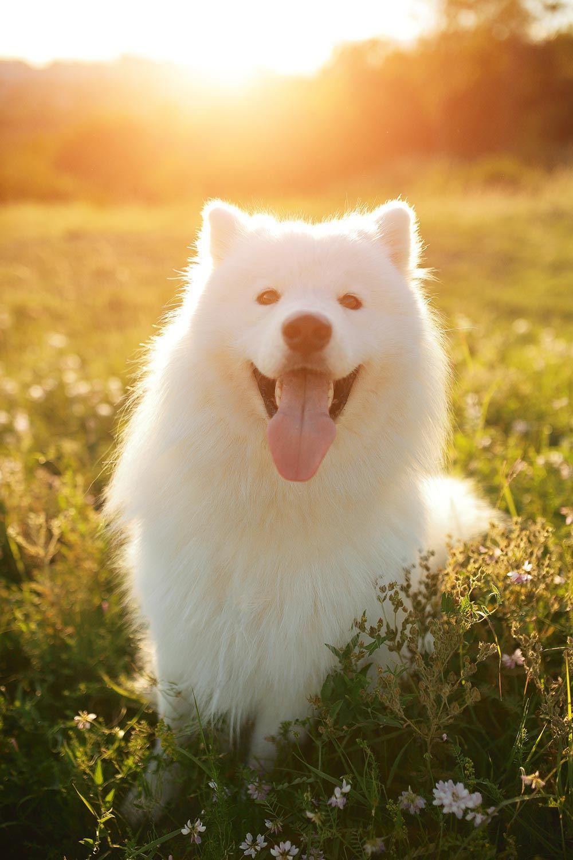 perro raza samoyedo