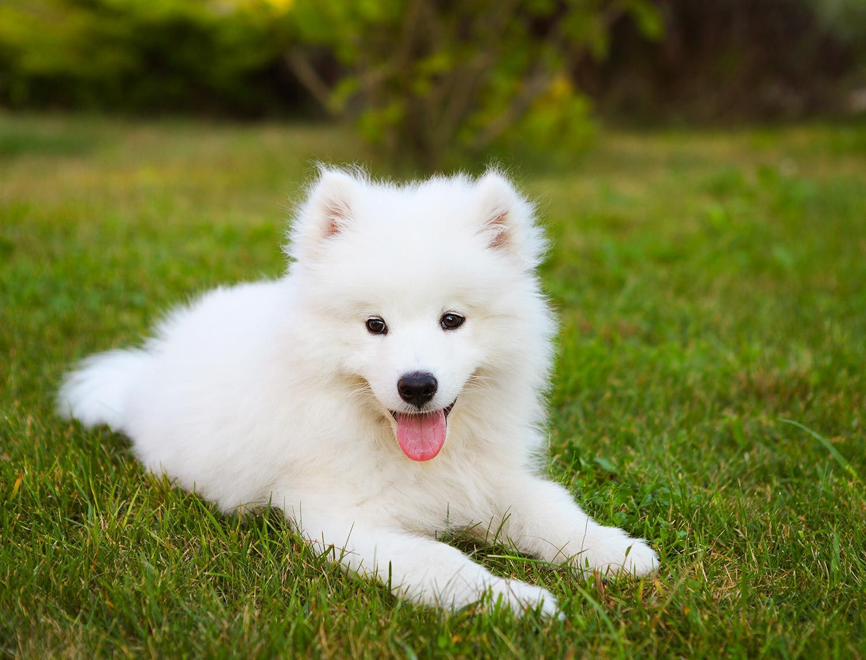 Samoyedo Raza De Perro Mascotas Hoagrmania