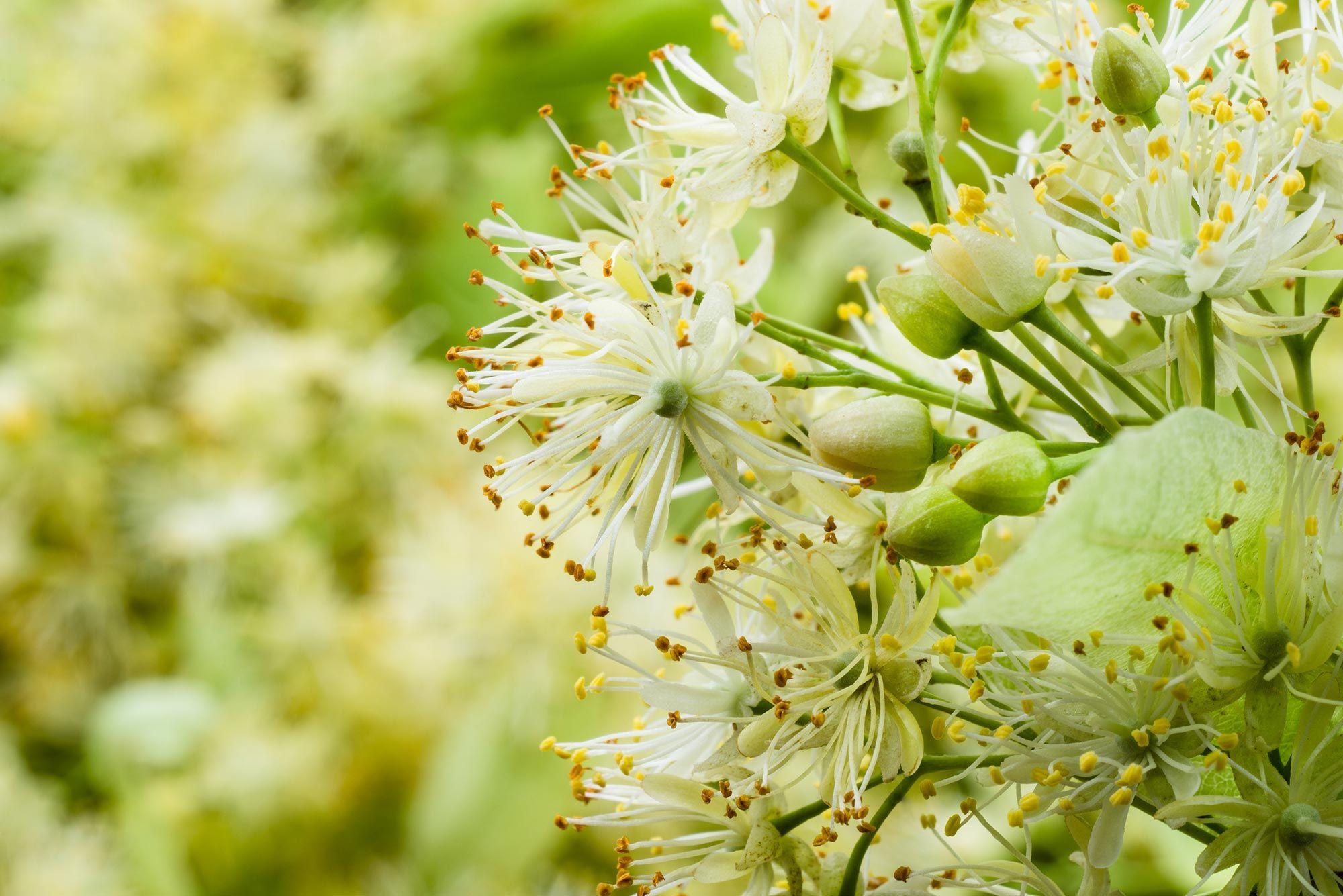 plantas medicinales insomnio tila