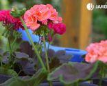 Geranios para el balcón cuidados y variedades - Plaga del taladro