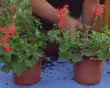 Geranios para el balcón cuidados y variedades - Geranio hiedra