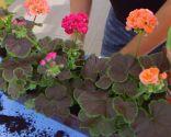 Geranios para el balcón cuidados y variedades - Paso 4