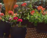 Geranios para el balcón cuidados y variedades - Paso 5