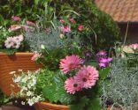 Cuidados de la rosa de pitiminí o rosal mini - Detalle composición