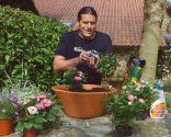 Cuidados de la rosa de pitiminí o rosal mini - Composición - Paso 1