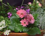 Cuidados de la rosa de pitiminí o rosal mini - Composición - Paso 4