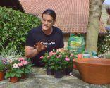 Cuidados de la rosa de pitiminí o rosal mini - Detalle