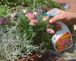 Cuidados de la rosa de pitiminí o rosal mini - Plaga oidio y mildiu