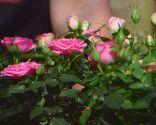 Cuidados de la rosa de pitiminí o rosal mini - Sustrato para rosales