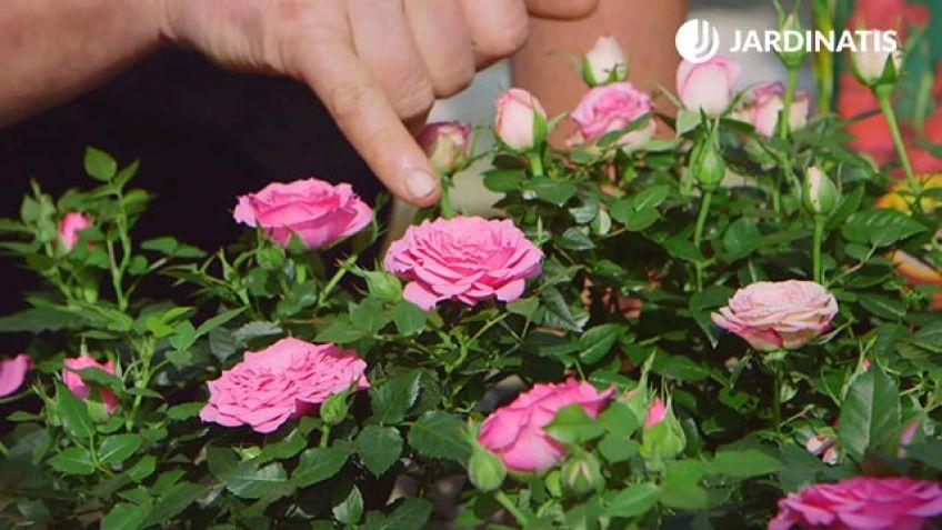 Cuidados de la rosa de pitiminí o rosal mini - Bricomanía