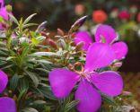 Tibouchina Groovy Baby - Detalle flor