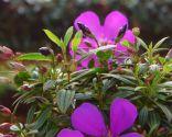 Tibouchina Groovy Baby - Floración