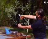 Cómo sanear un olivo - Brotes nuevos
