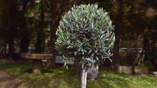 Olivo compacto