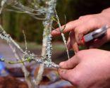 Cómo sanear un olivo - Líquenes en las ramas del olivo