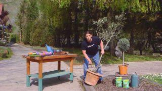 Recuperar un olivo - Paso 1
