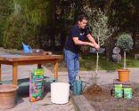 Cómo sanear un olivo - Paso 3