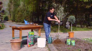 Recuperar un olivo - Paso 3